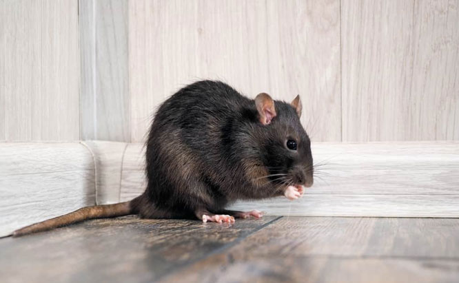 Pest Control Sydney, Insect Removal, Termite Eradication, Rodent