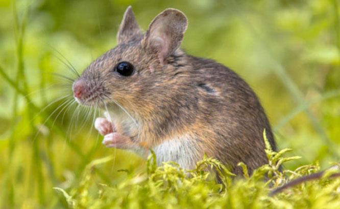 Zambales Shrew Rat Mice - Quality ...